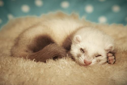 フェレット 冬 寝てばかり よく寝る