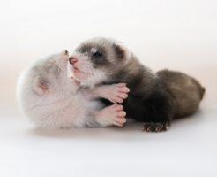 フェレット 猫 共存 同居