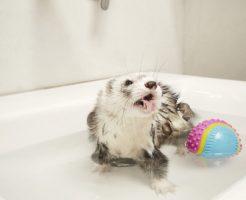 フェレットお風呂頻度