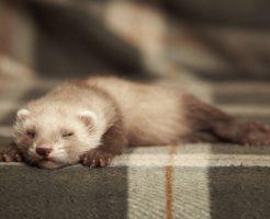 フェレット 冬 睡眠